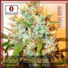 Serious Seeds Kali Mist Female 6 Cannabis Seeds